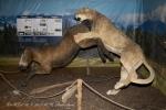 Americký lev (Pantera leo atrox)