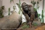 Gigantopitékus (Gigantopithecus blacki) 001