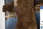 Medvěd krátkočelý (Arctodus simus)