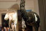 Pták Moa (Dinomis giganteus)