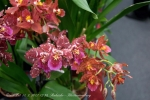 2017_03_11 Medzinárodná výstava orchideí 080
