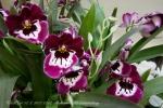 2017_03_11 Medzinárodná výstava orchideí 102